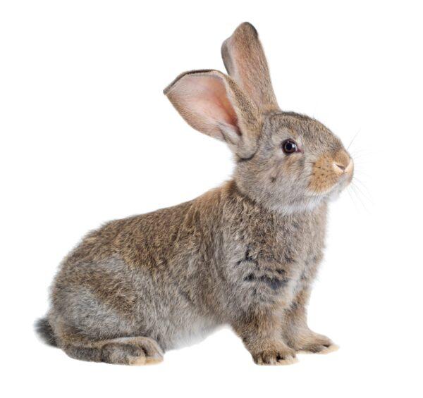 Conejo gigante de flander